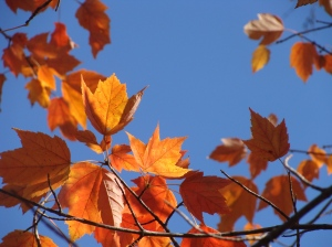 The beauty of maples in fall