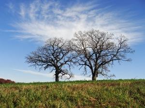 Twin oaks in a farmer's field