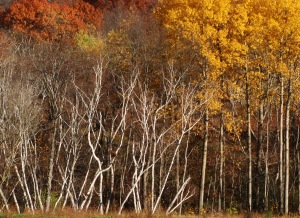 Bare birches clothed in oak and poplar leaves