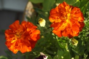 Marigolds capture the settign sun